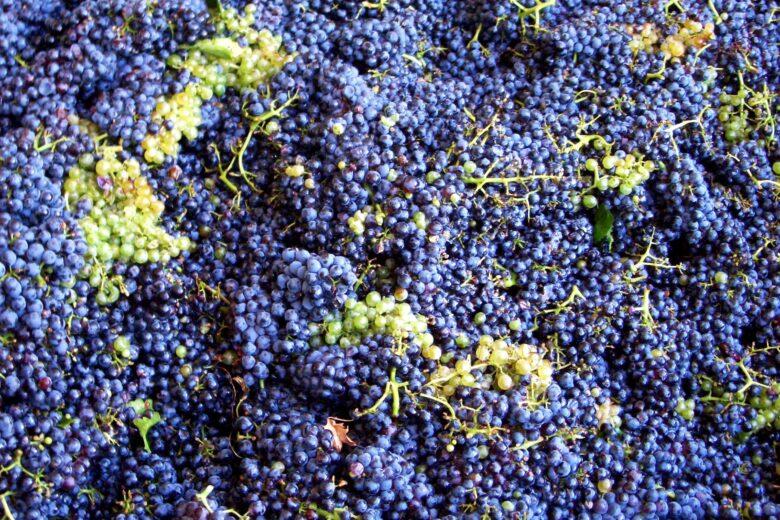 tanta uva